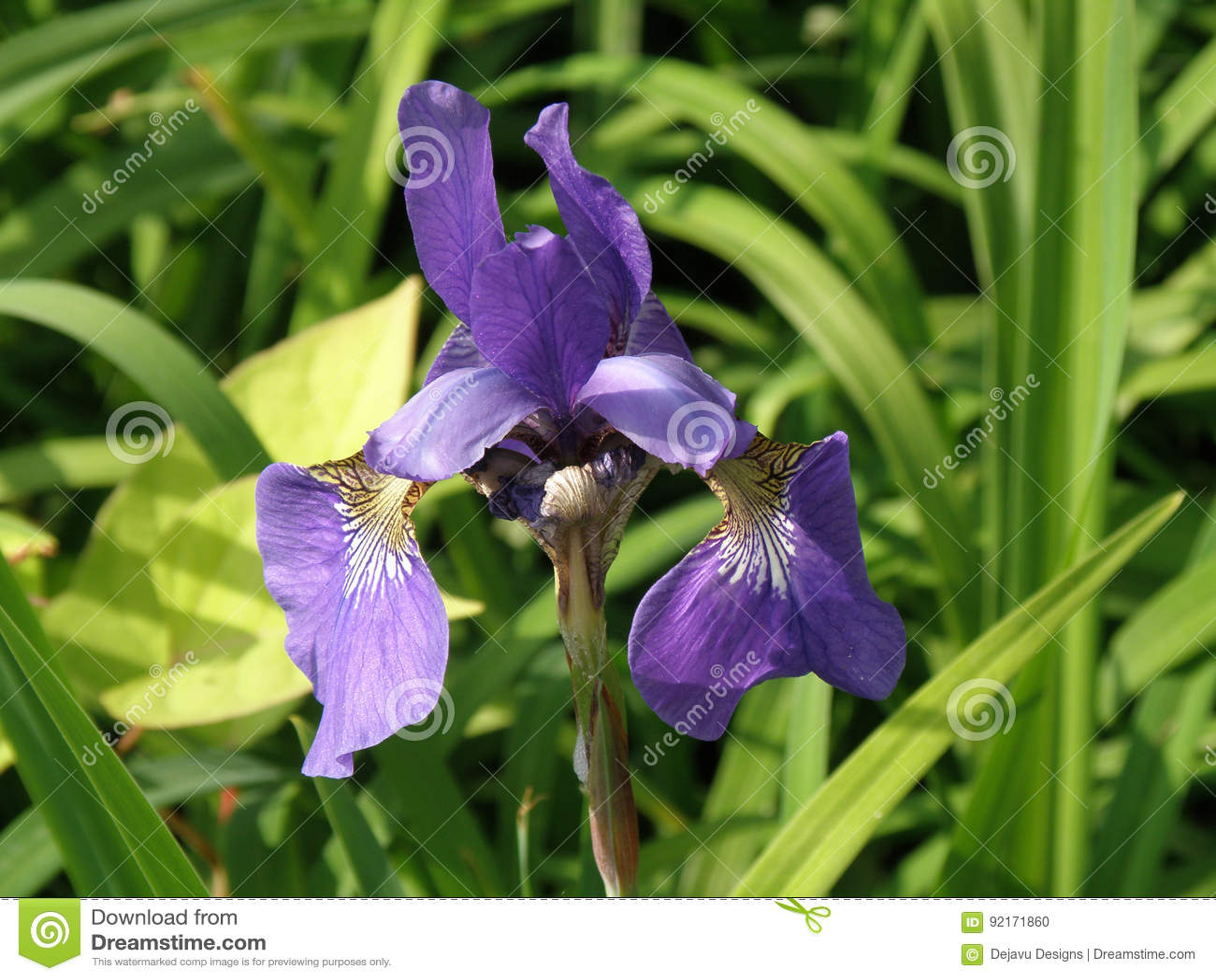Gorgeous blooming siberian iris flower blossom flowering stock photo gorgeous blooming siberian iris flower blossom flowering izmirmasajfo