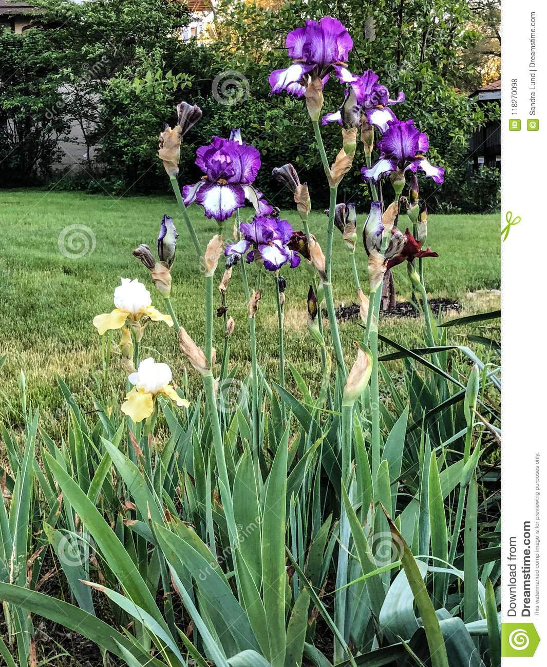 Tall Purple And White Flowers In Garden Stock Photo Image Of Grass