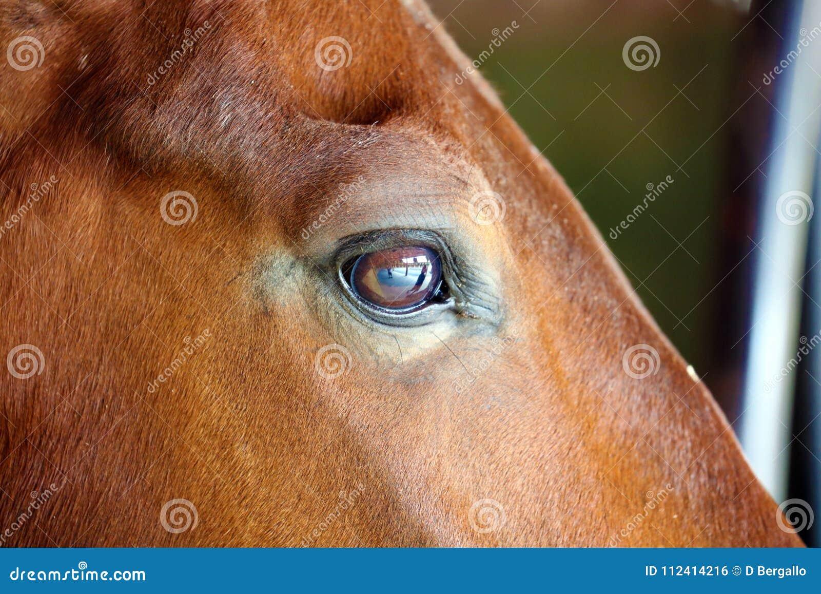Gorgeous horse eye andalusian spanish stallion, amazing arabian horse.