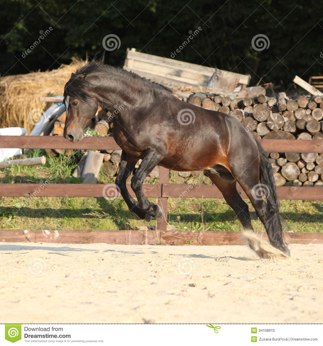 Gorgeous Brown Welsh Cob Jumping Stock Photo Image Of Equine Mammal 34108910