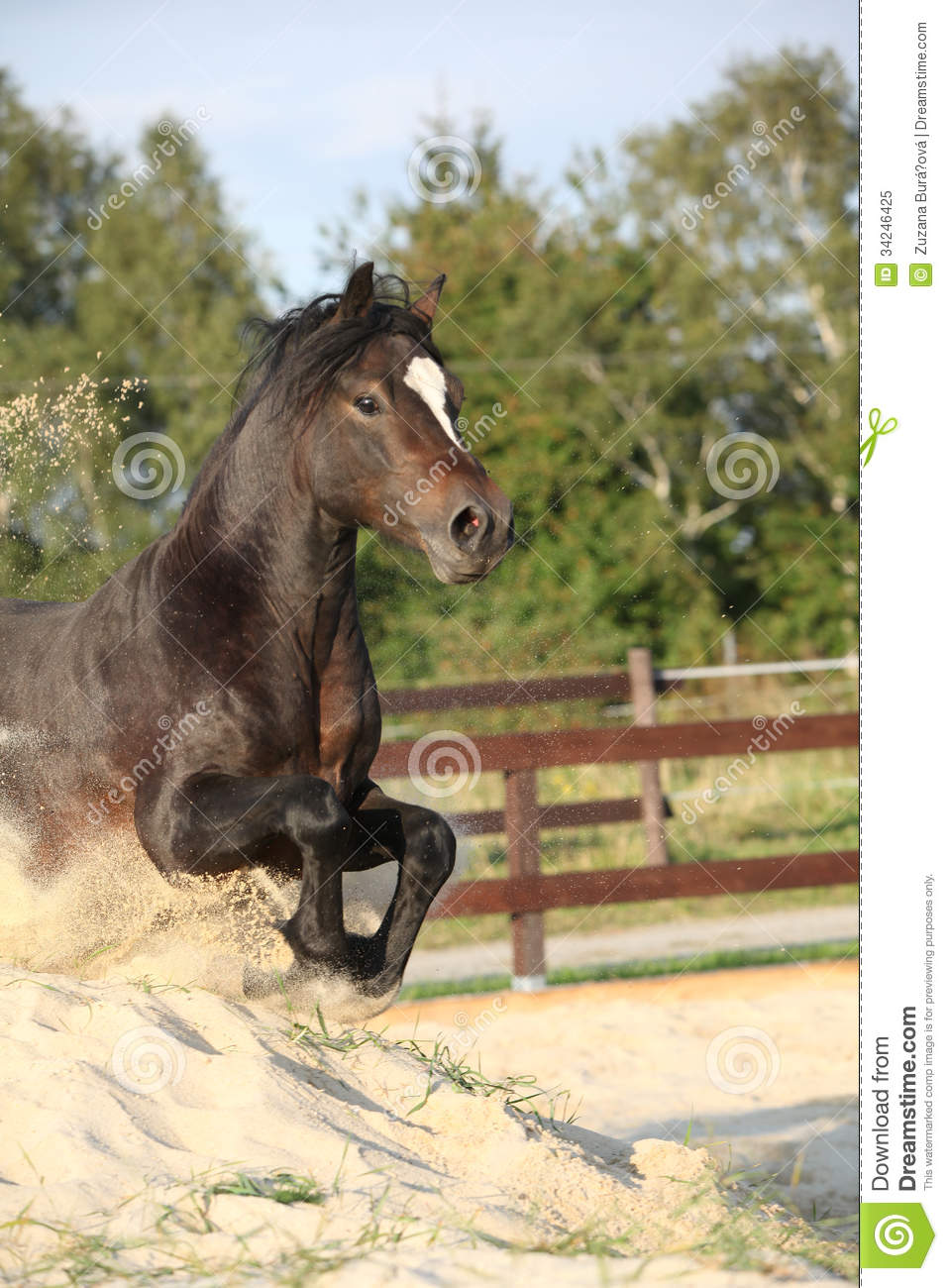 Gorgeous Brown Welsh Cob Jumping Stock Image Image Of Equestrian Horse 34246425