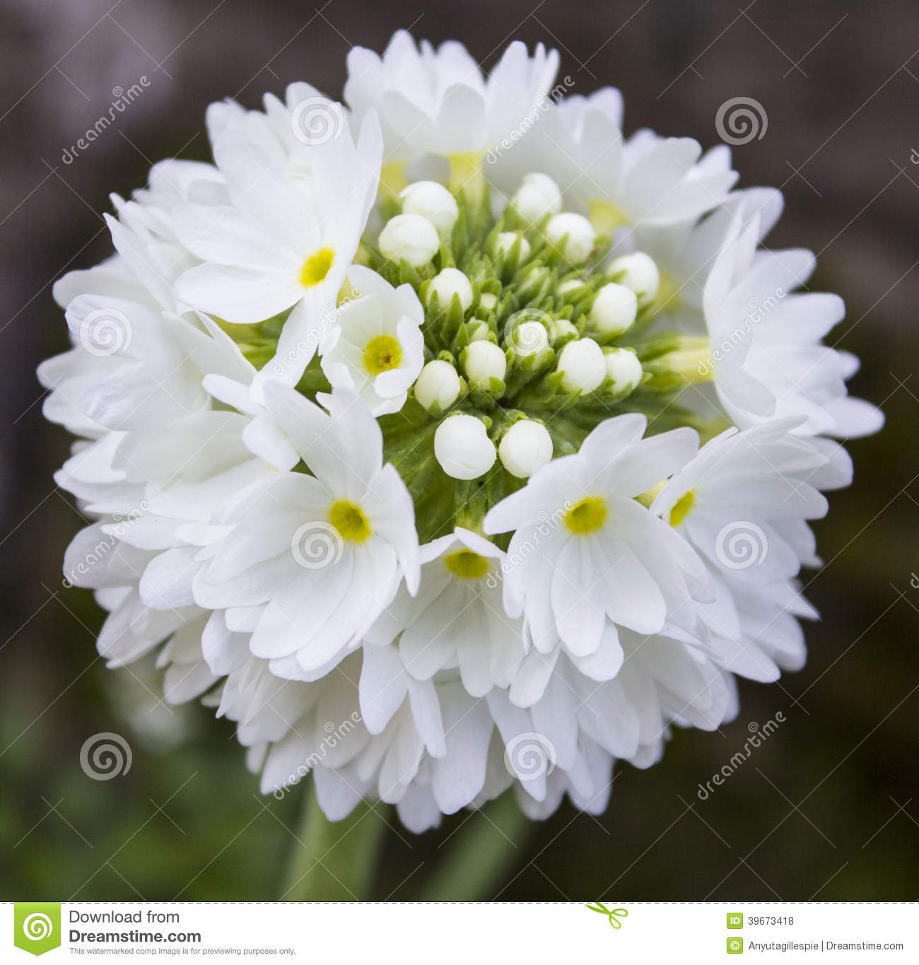Gorgeous bunch of white flowers stock photo image of gorgeous gorgeous bunch of white flowers mightylinksfo