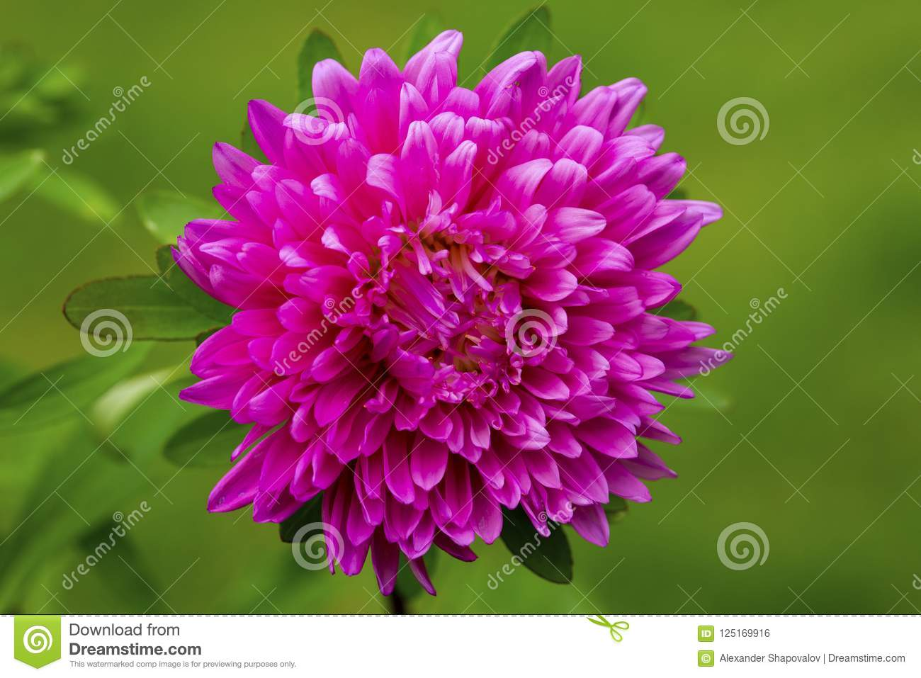 Gorgeous Close Up View Of Pink Aster Flower Isolated On Green