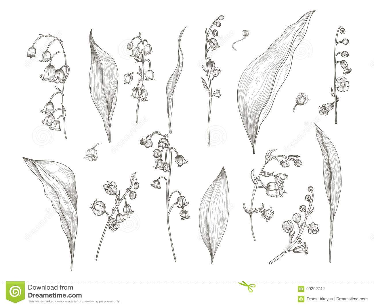 Gorgeous Drawing Of Lily Of The Valley Parts Flower Inflorescence