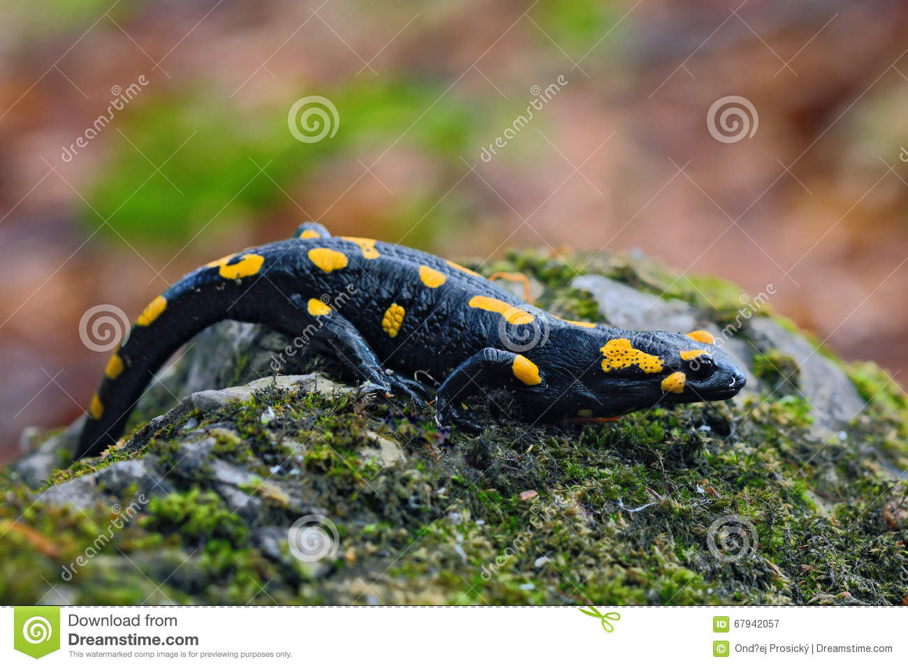 Gorgeous Fire Salamander, Salamandra salamandra, spotted amphibian on the grey stone with green moss