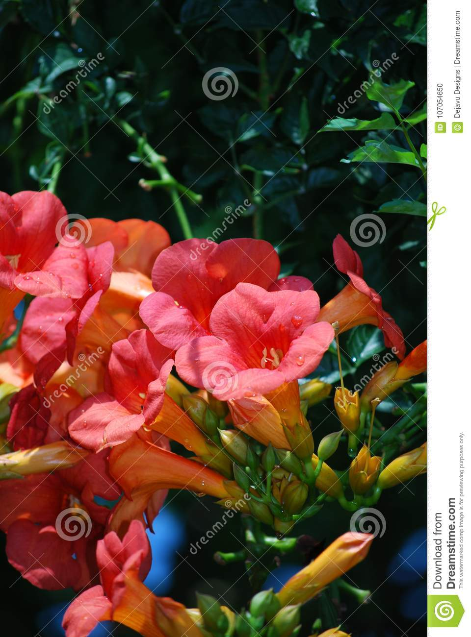 Gorgeous Flowering Pink Trumpet Vine Flowers Stock Photo Image Of
