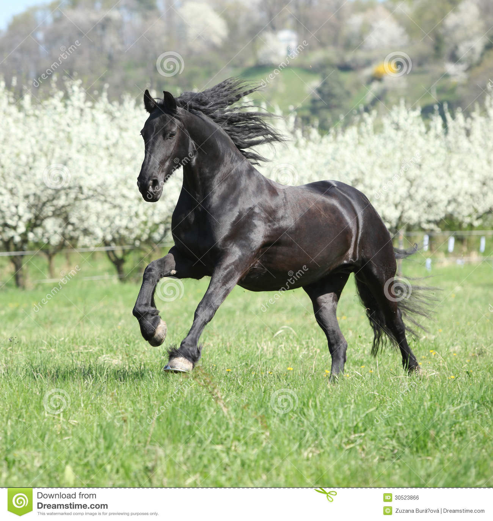 Running Friesian Horse Royalty Free Stock Images - Image ...  |Friesian Horses Running
