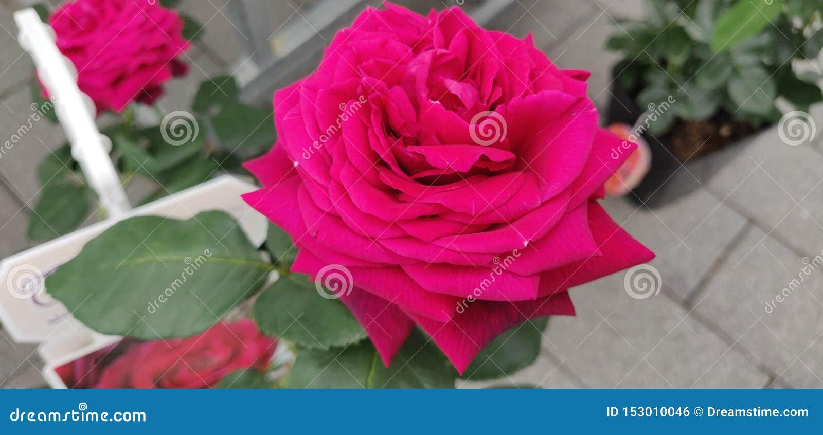 Smiling pink flower