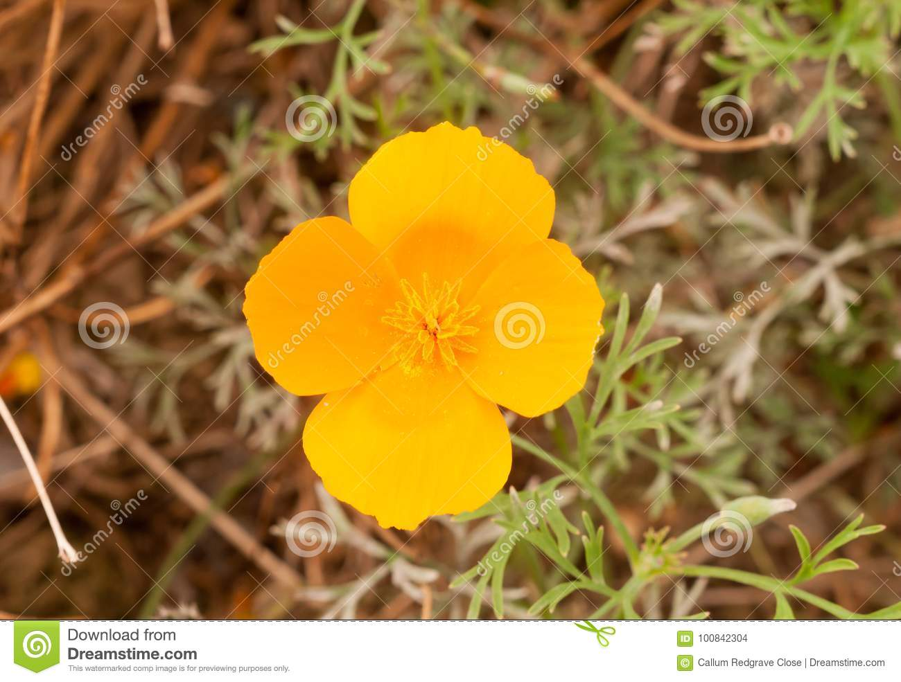 Gorgeous Orange Golden Four Petal Flower Close Up Stock Photo