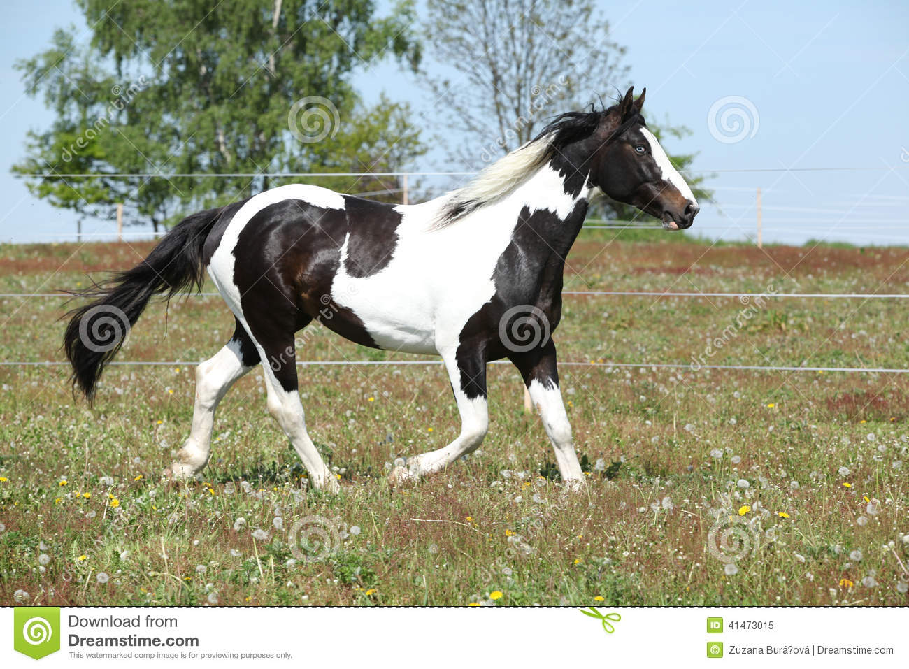 Gorgeous paint horse running on flowered pasturage
