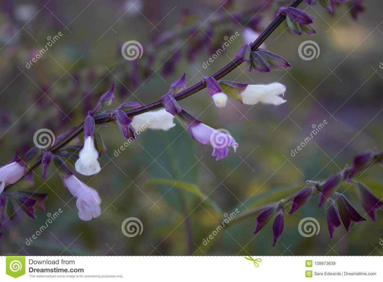 Gorgeous purple and white Mexican sage in a garden in the spring