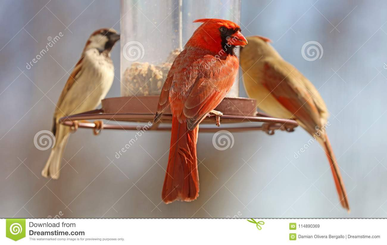 Gorgeous Couple of Red northern cardinal and sparrow colorful bird eating seeds from a bird seed feeder during summer in Michigan