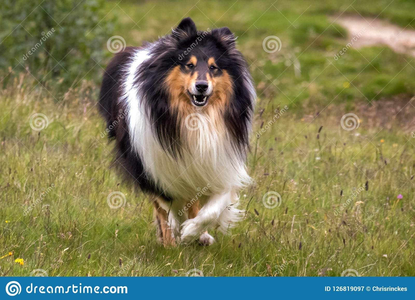 Gorgeous Scottisch or Scotch, Rough Collie at play