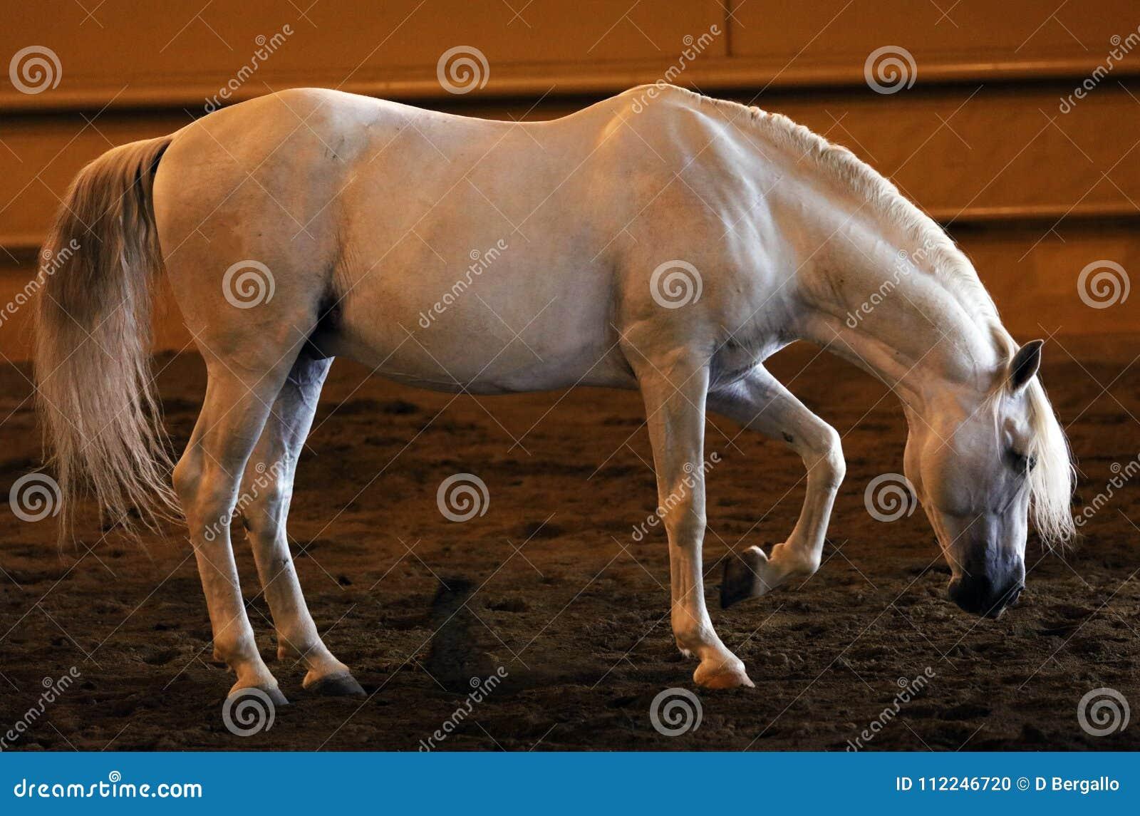 Gorgeous white andalusian spanish stallion, amazing arabian horse.