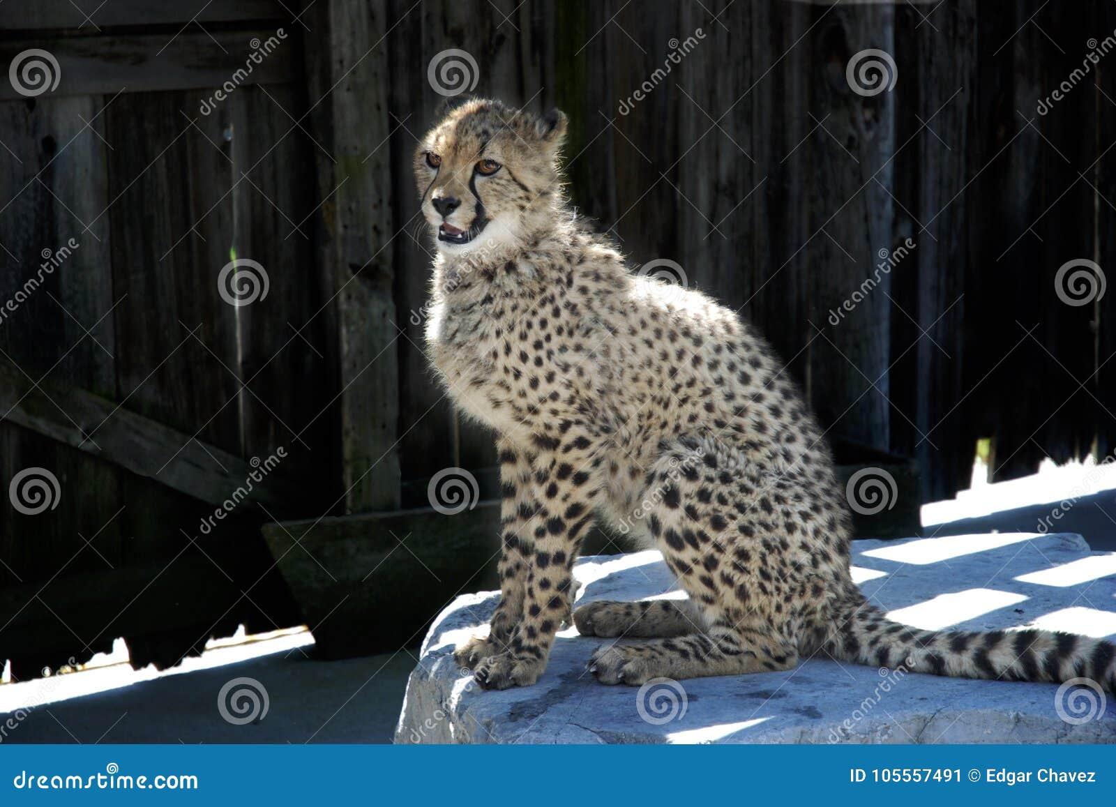 Cheetah on a rock