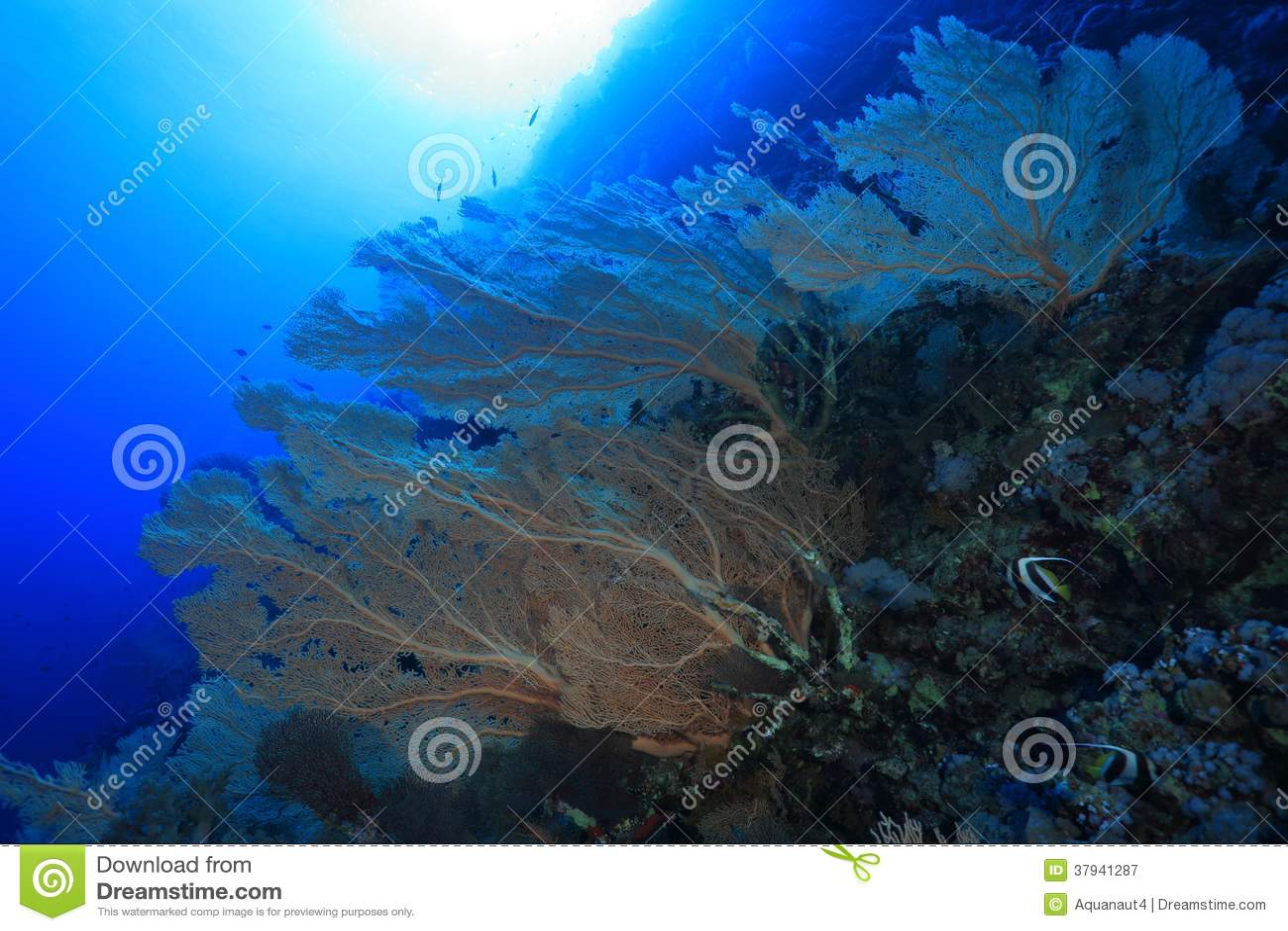 Gorgonian海底扇珊瑚