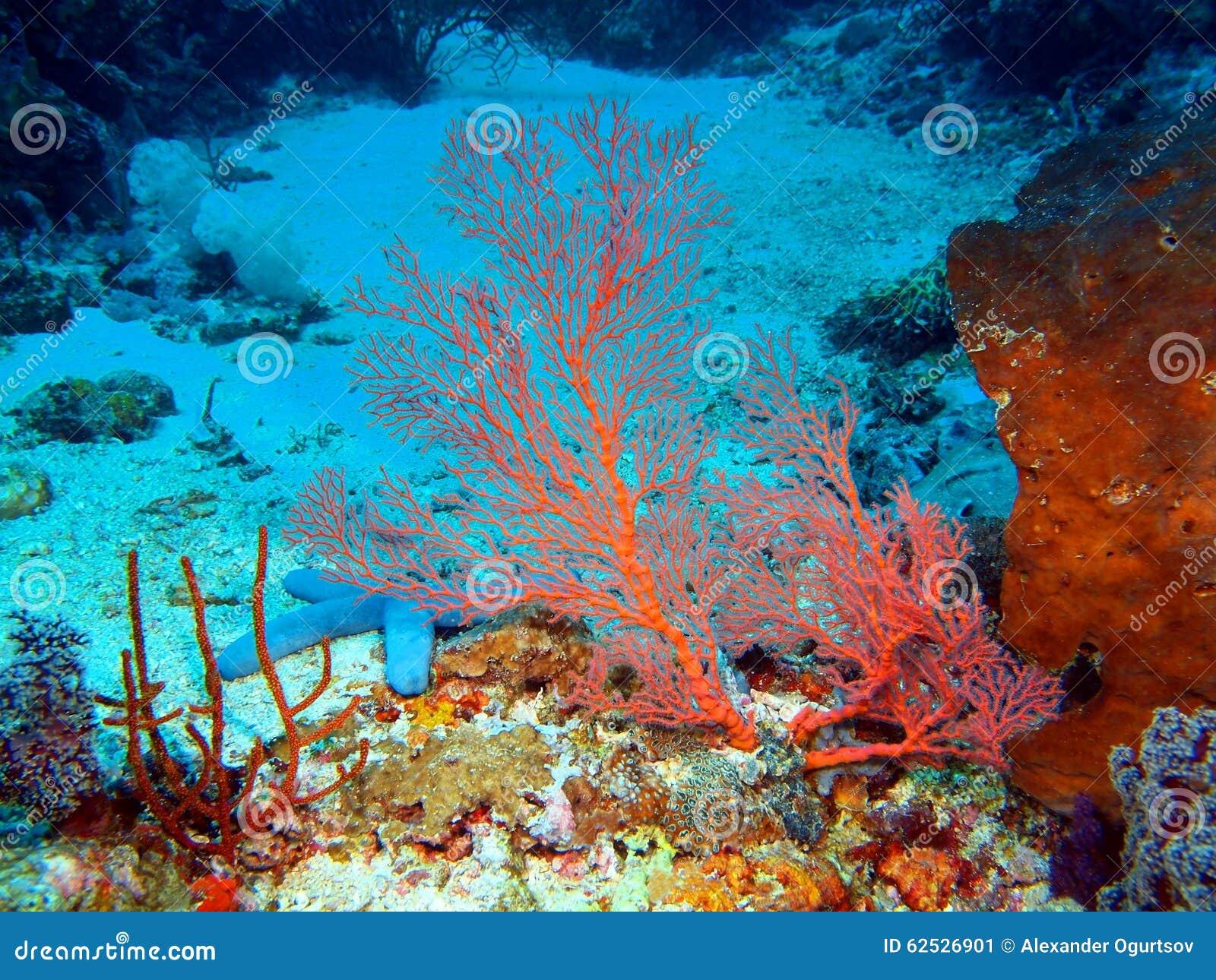 Gorgonian珊瑚