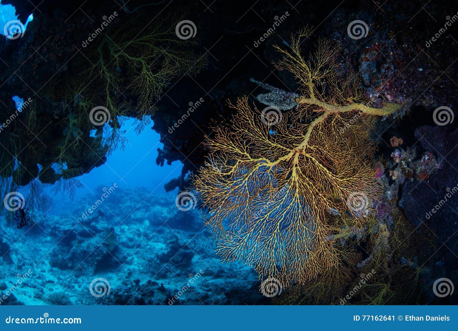 Gorgonian et grotte foncée sur le récif