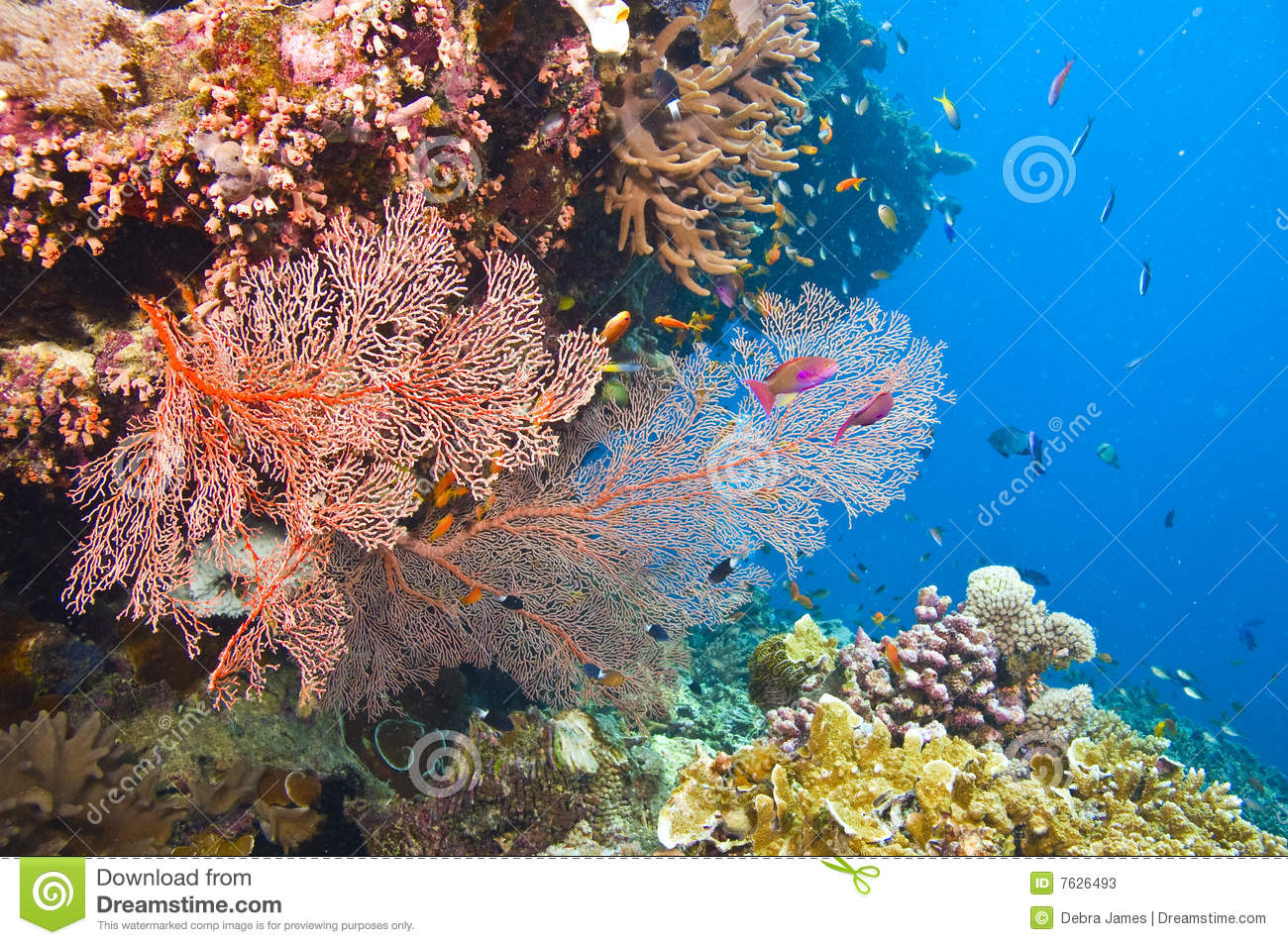 Gorgonian sea fans and coral