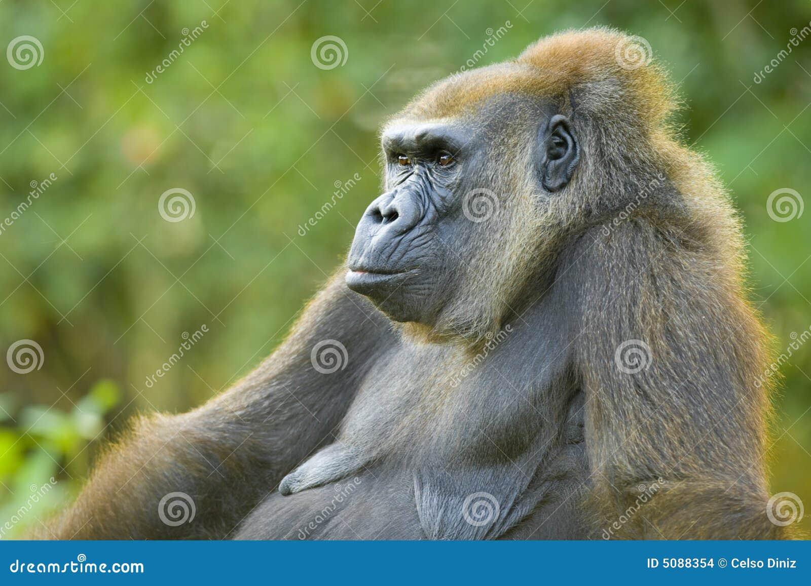 Gorila viejo foto de archivo. Imagen de gorila, animal - 5088354