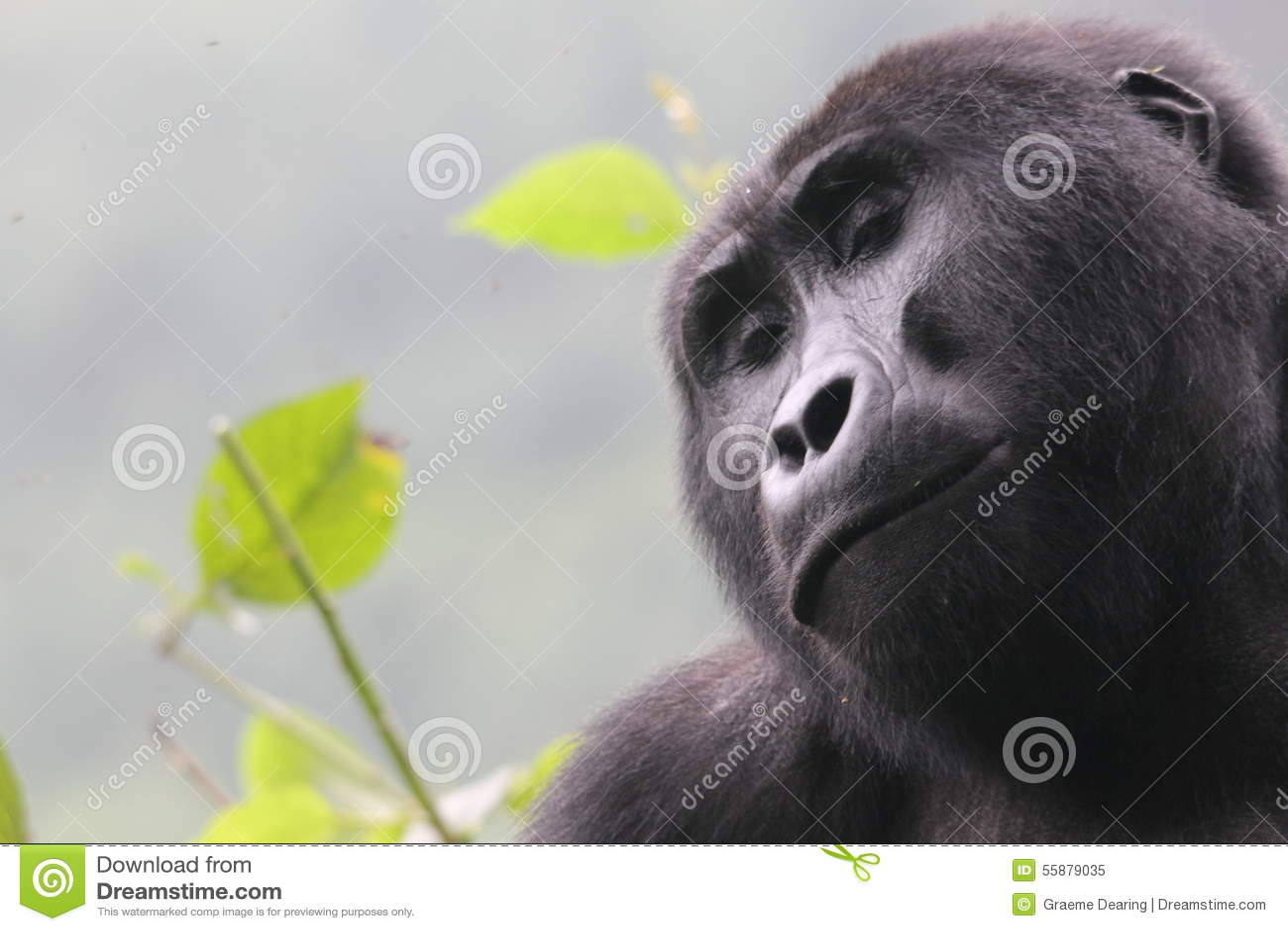 Gorila 01