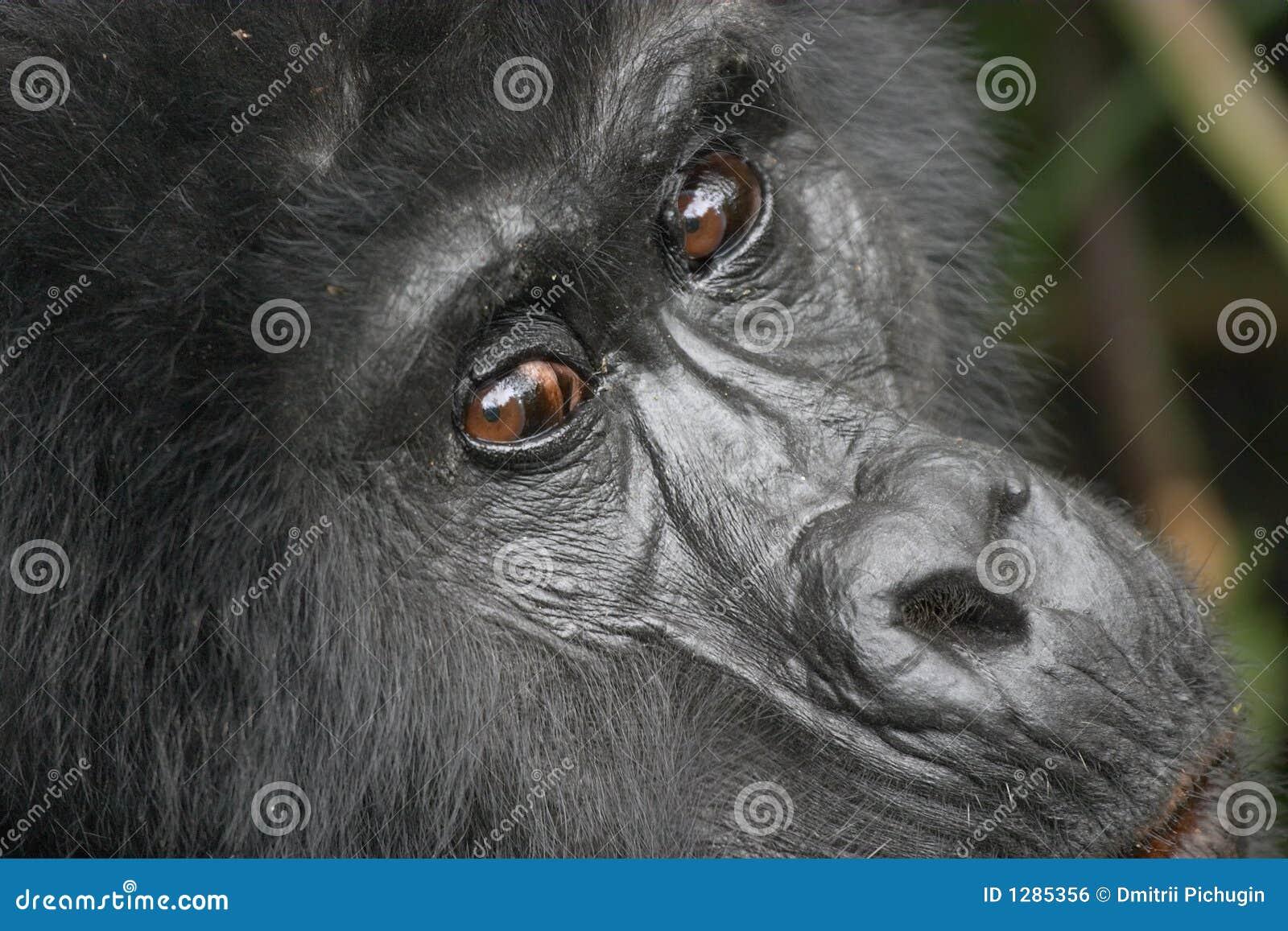 Gorila de montaña del este