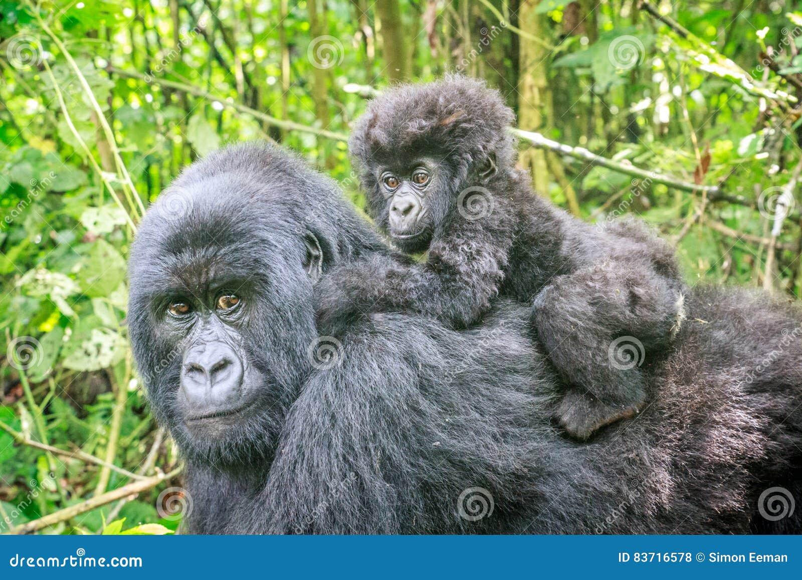 Gorila de montanha do bebê na parte de trás de sua mãe