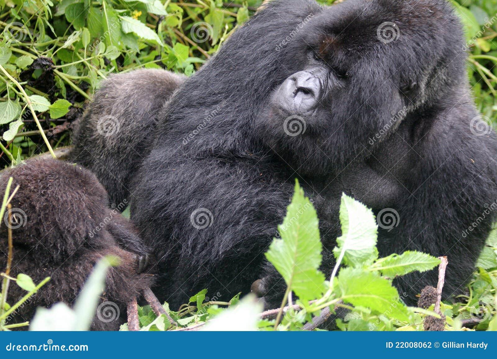 Gorila de Silverback que se relaja