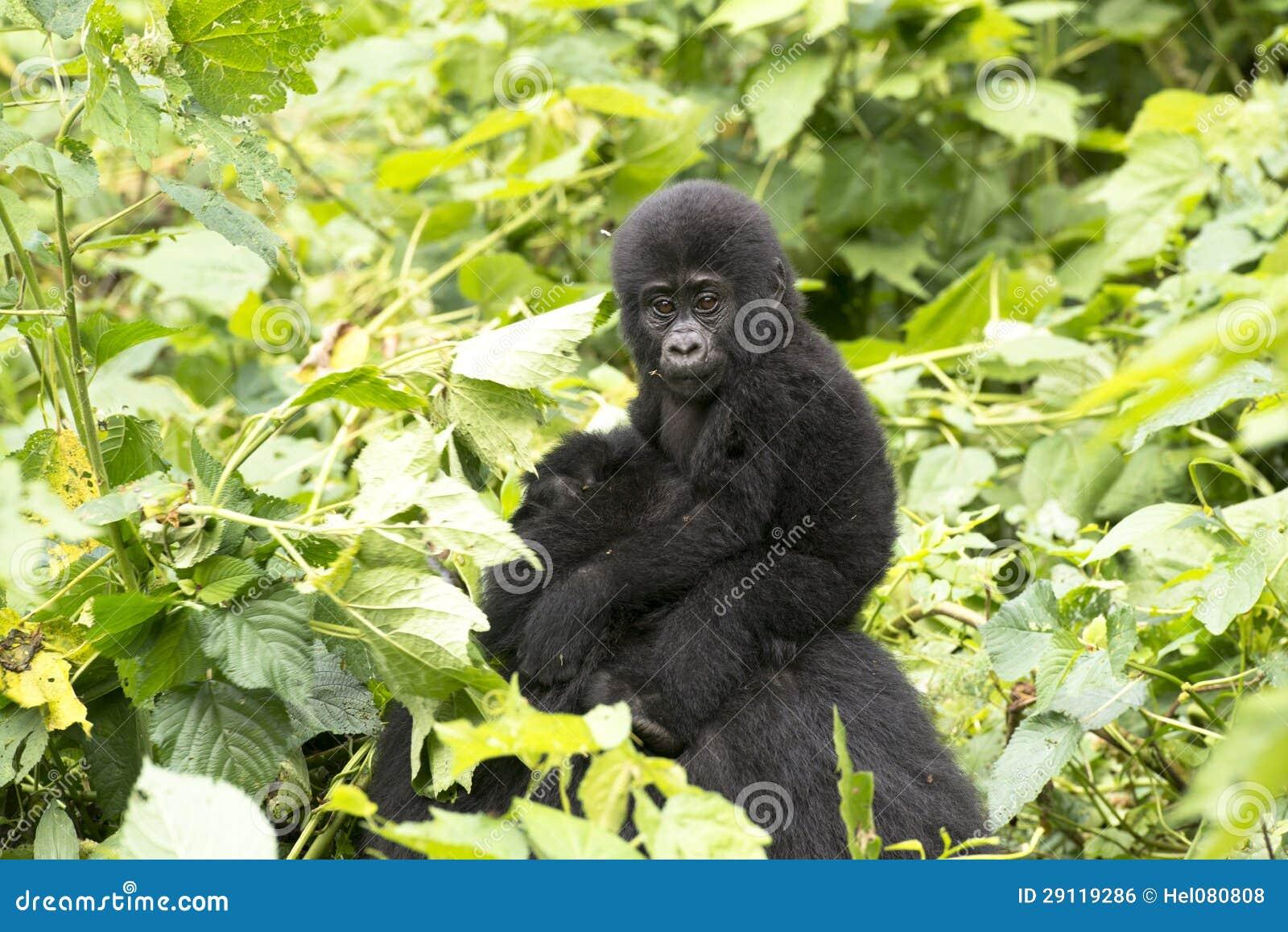Gorila del bebé en la selva tropical de África