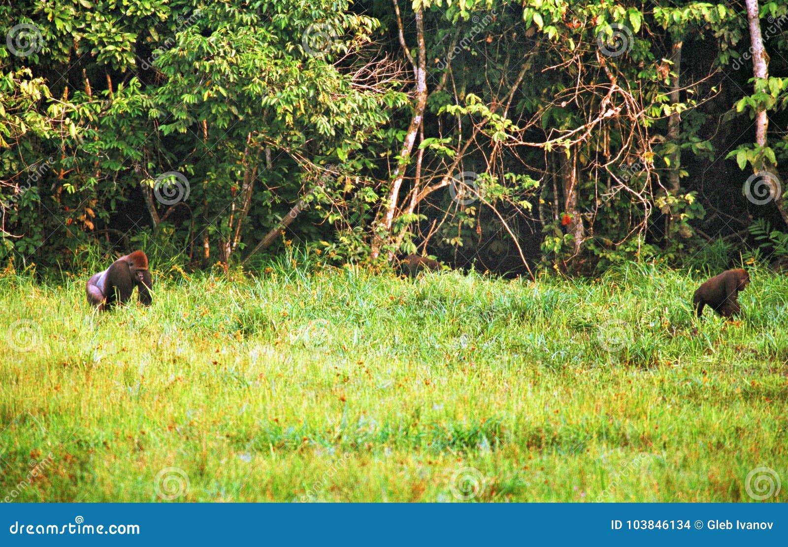 Gorila en la selva en Congo