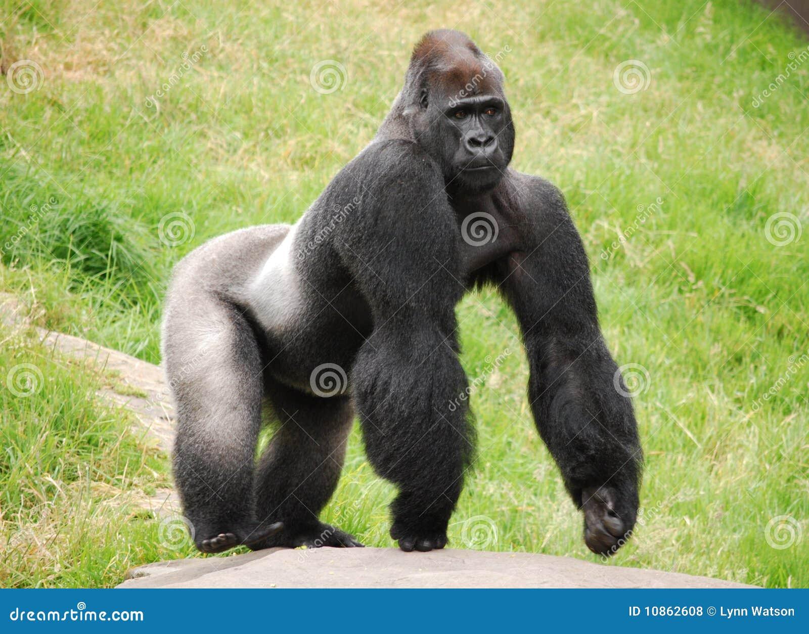 Gorila masculino de Silverback