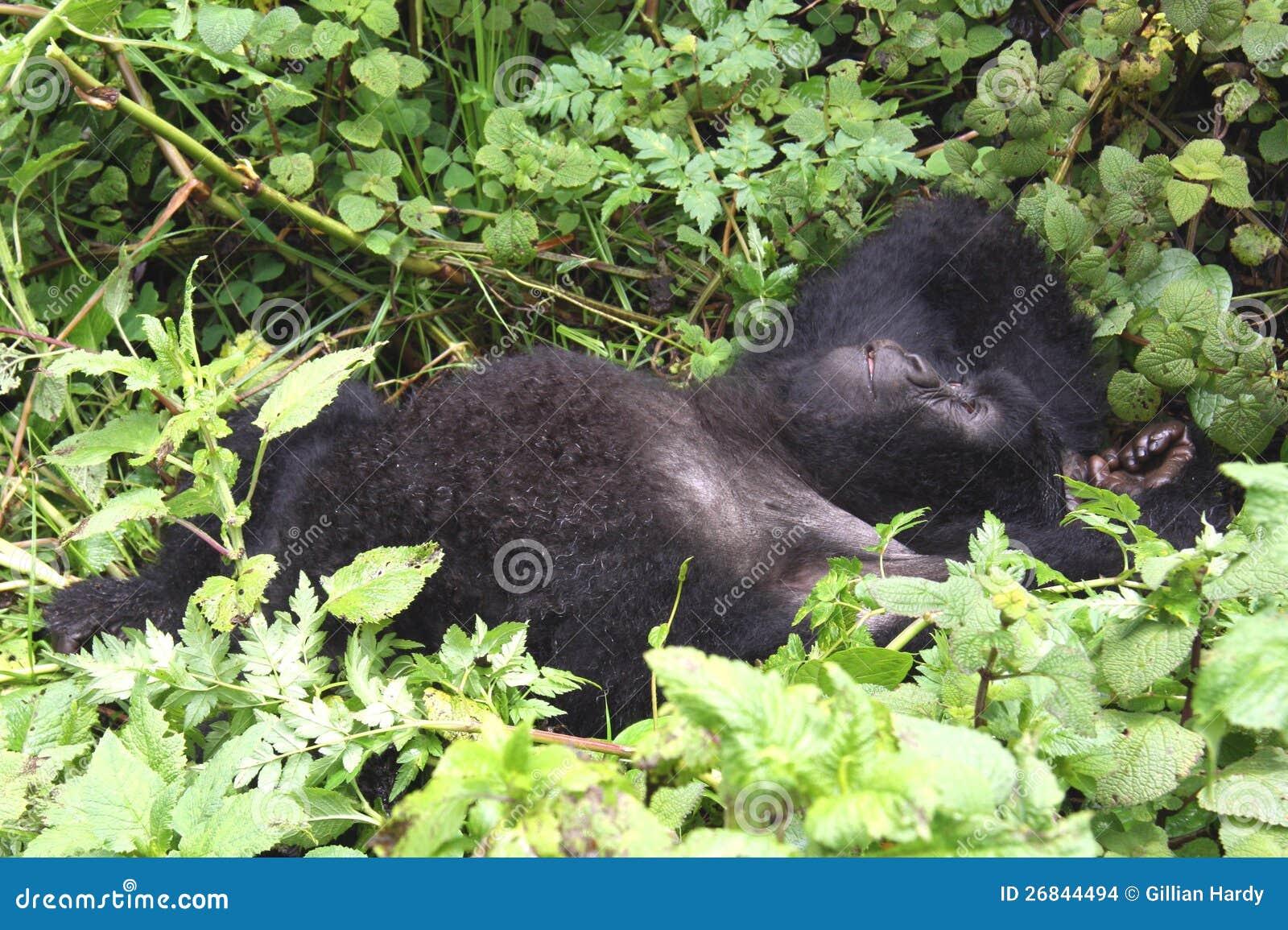 Gorila perezoso