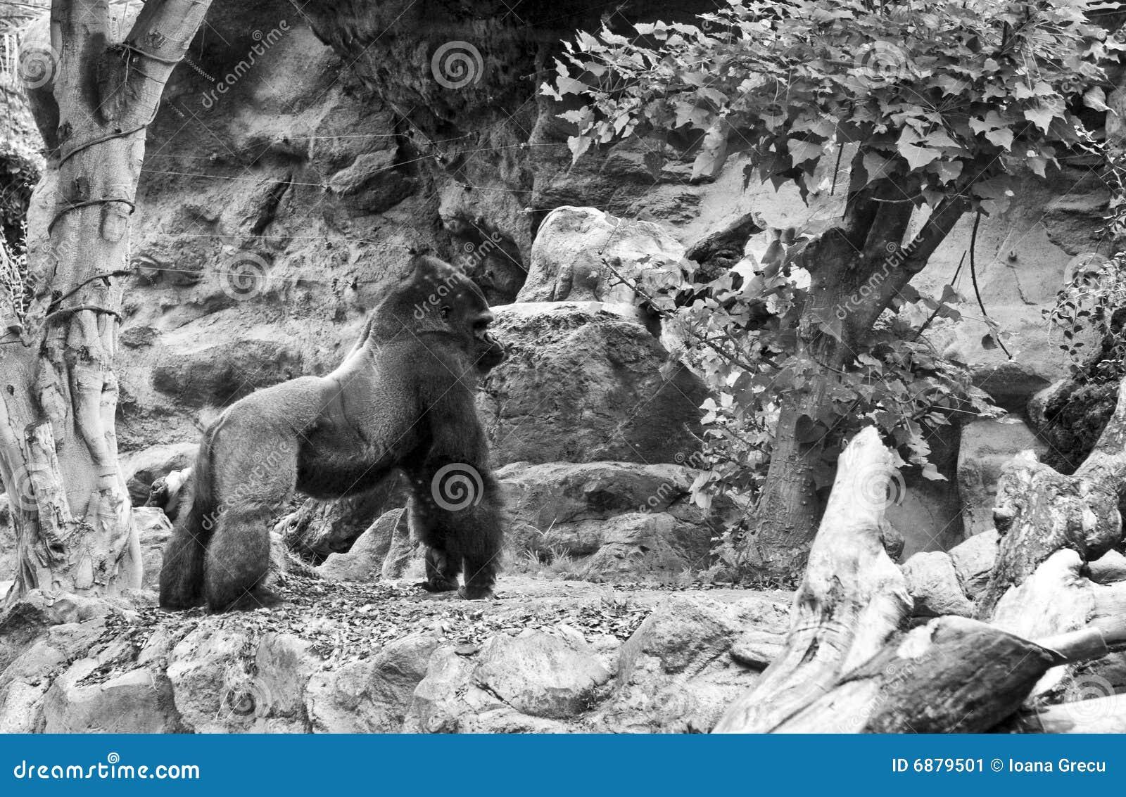 Gorilla Stock Image Image Of Mammal Standing Smart
