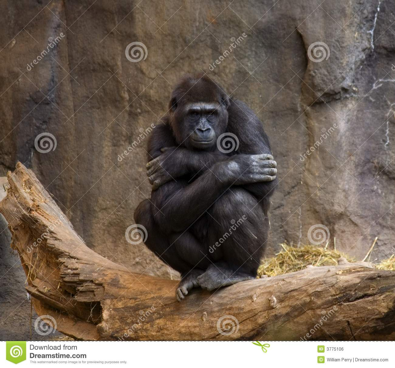 gorilla ape thinking royalty free stock image image 3775106 ape clip art black and white ape clip art of ape