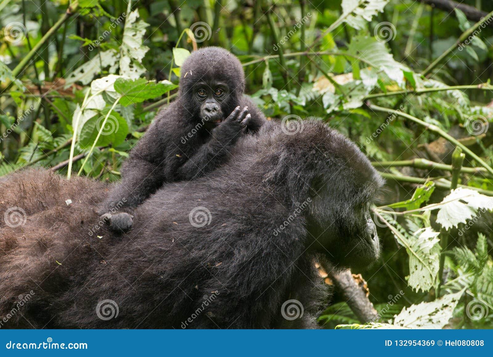 Gorilla Baby on mother`s back, mountain rainforest, Uganda