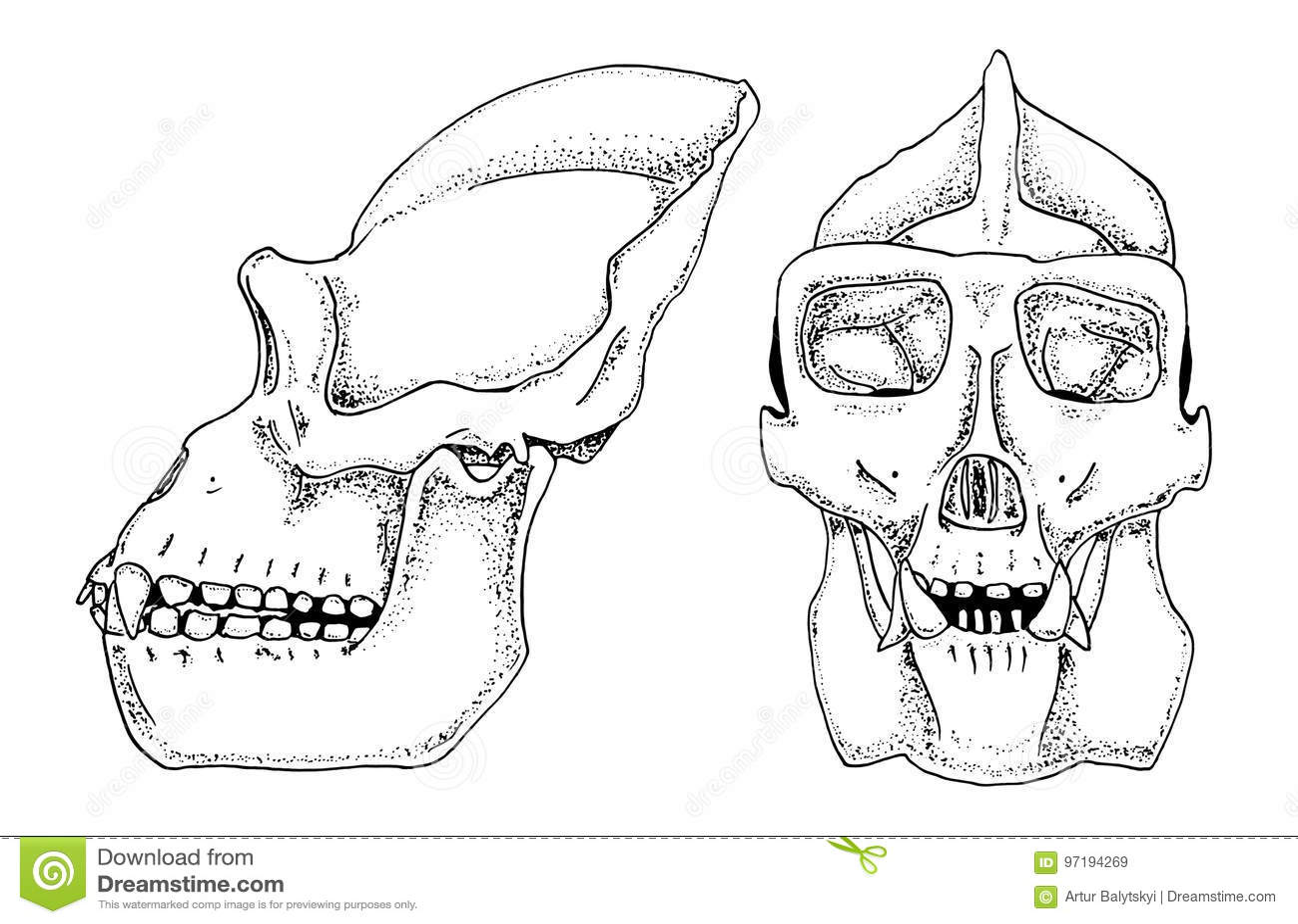 Gorilla Biology, Anatomy Illustration. Engraved Hand Drawn In Old ...