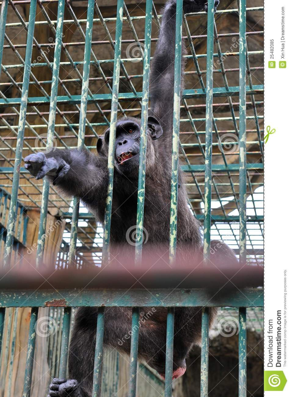 gorilla in the cage stock image image of depressed