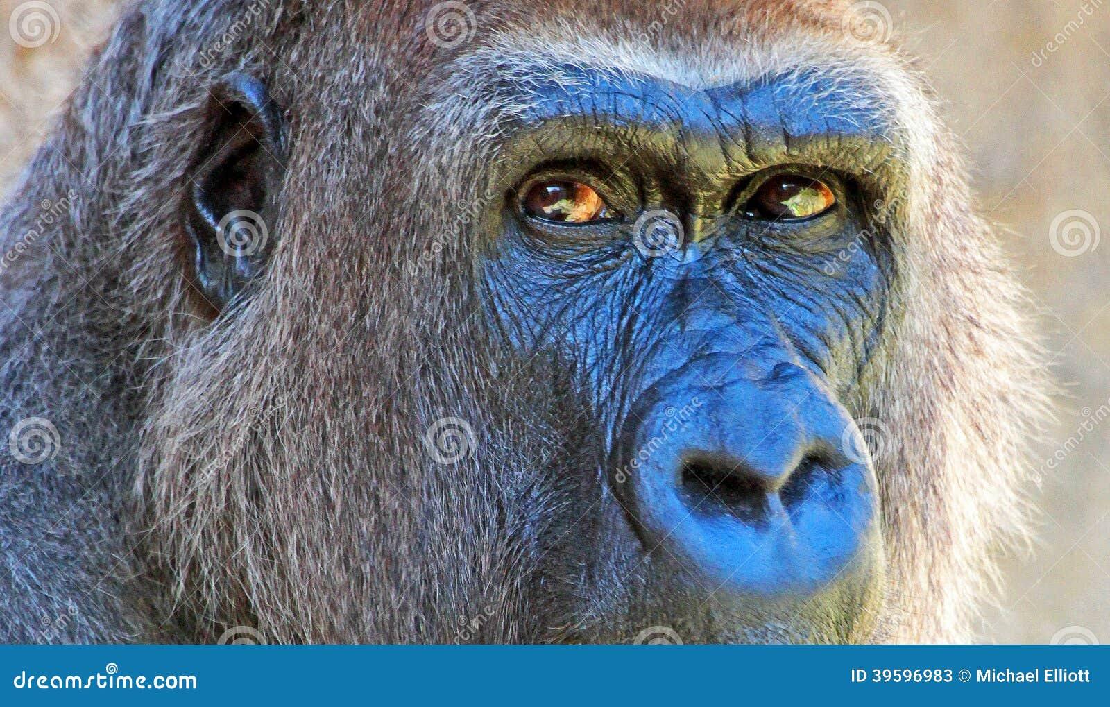 Gorilla Stock Photo Image 39596983