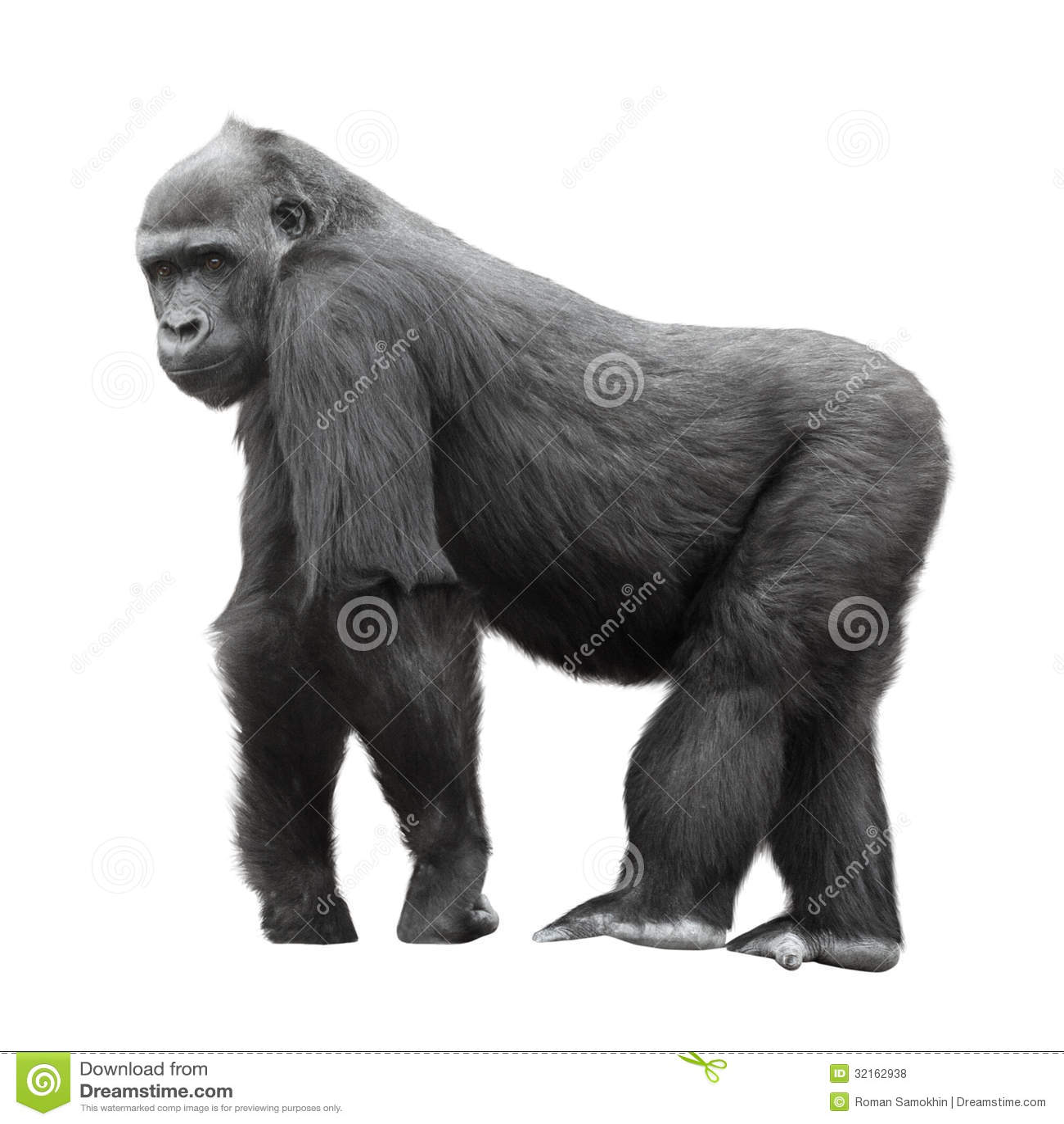 Gorilla del Silverback isolata su bianco