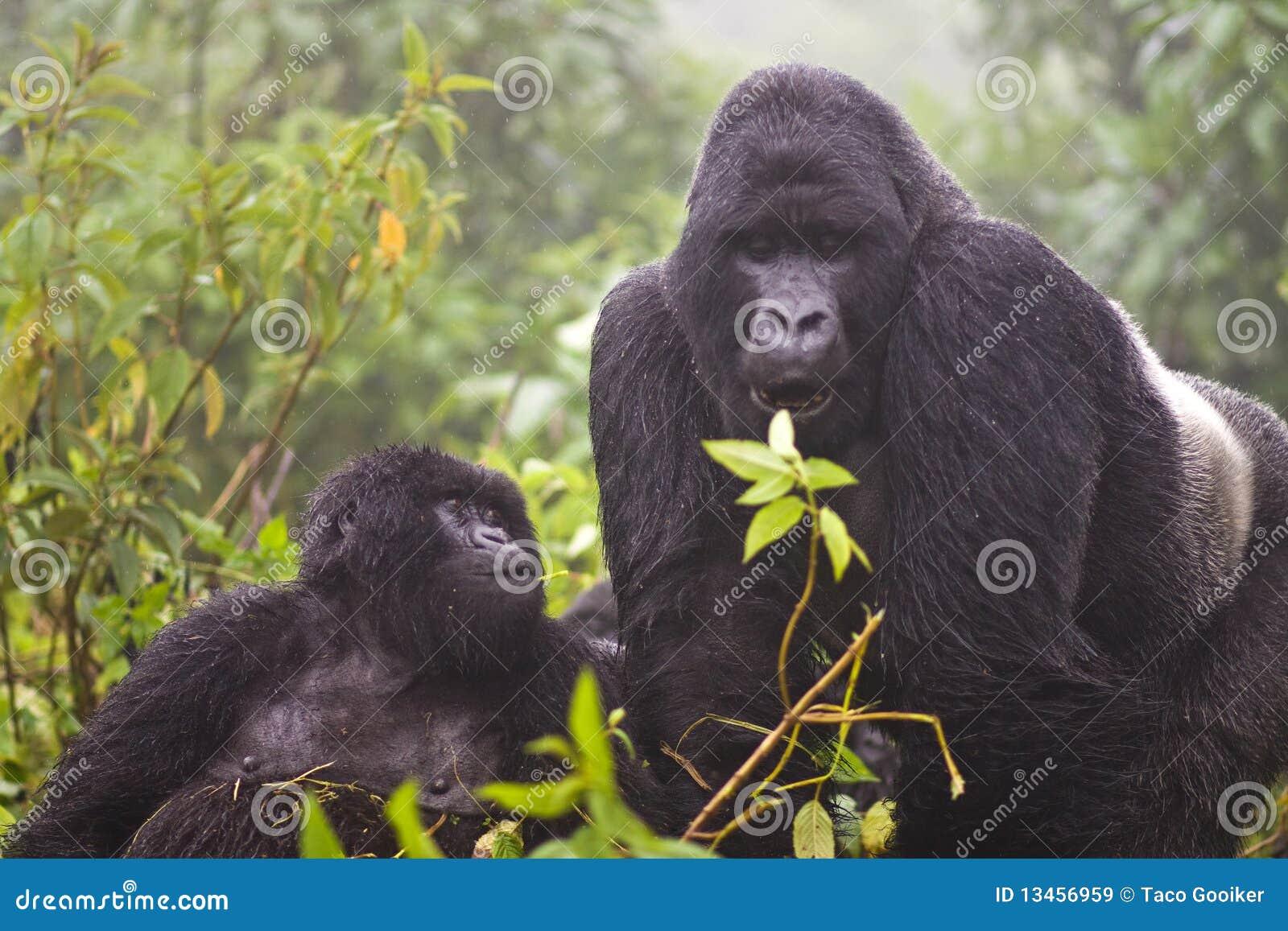 Gorilla della montagna