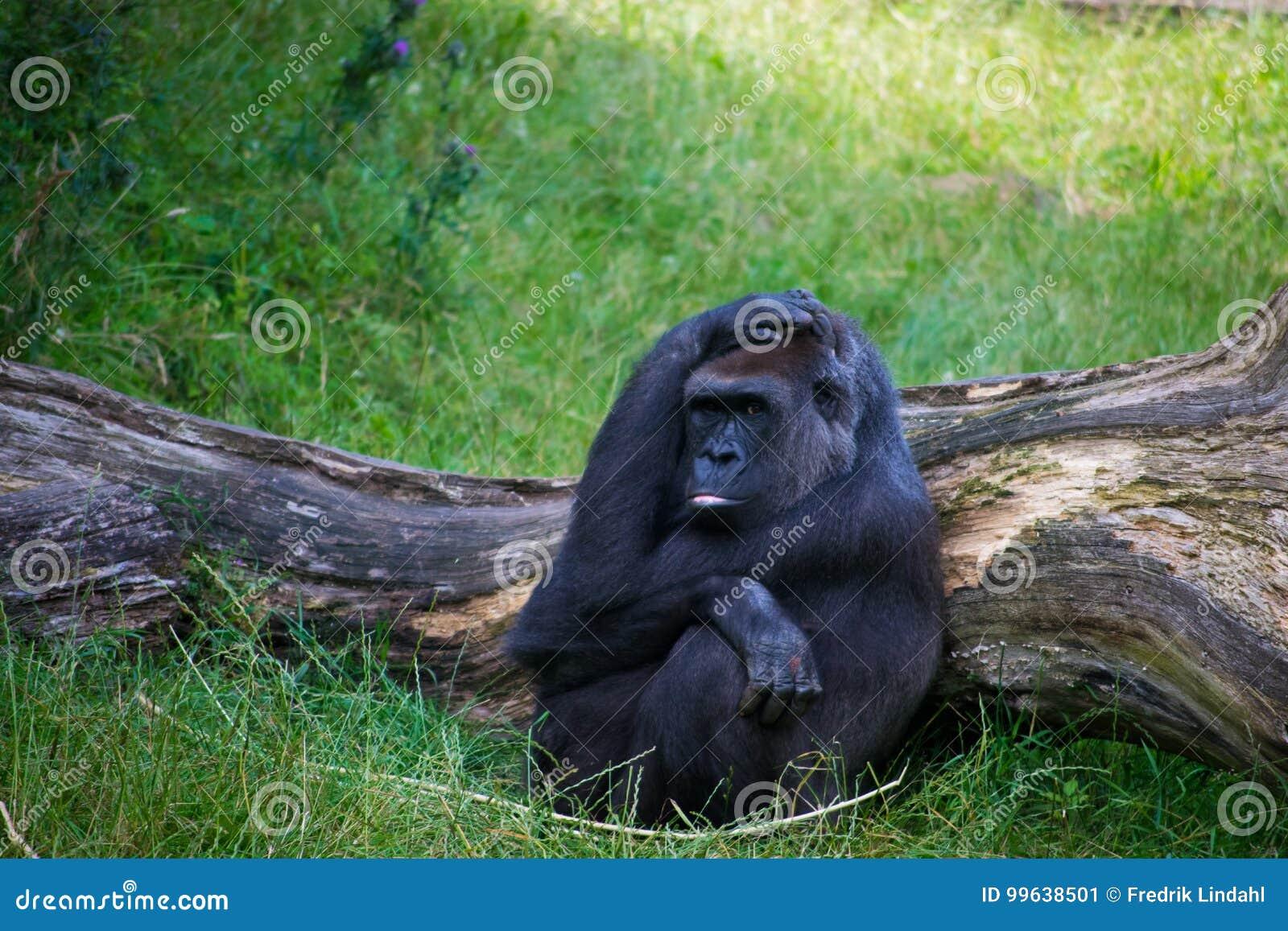 Gorilla, der im Gras sich entspannt