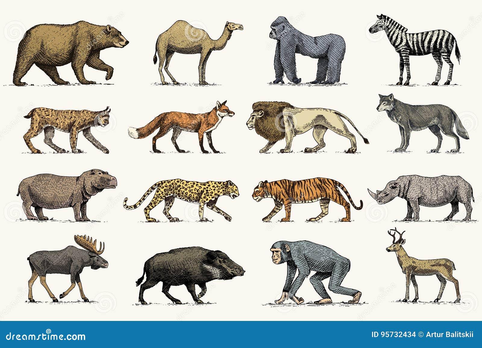 Gorilla Elch Oder Eurasierelche Kamel Und Rotwild Nashorn Hasen