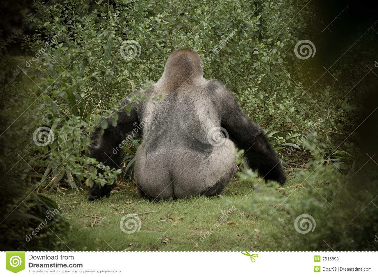 Extended Rear Facing >> Gorilla Facing Away From Camera Showing Stock Photo - Image of funny, rain: 7515898