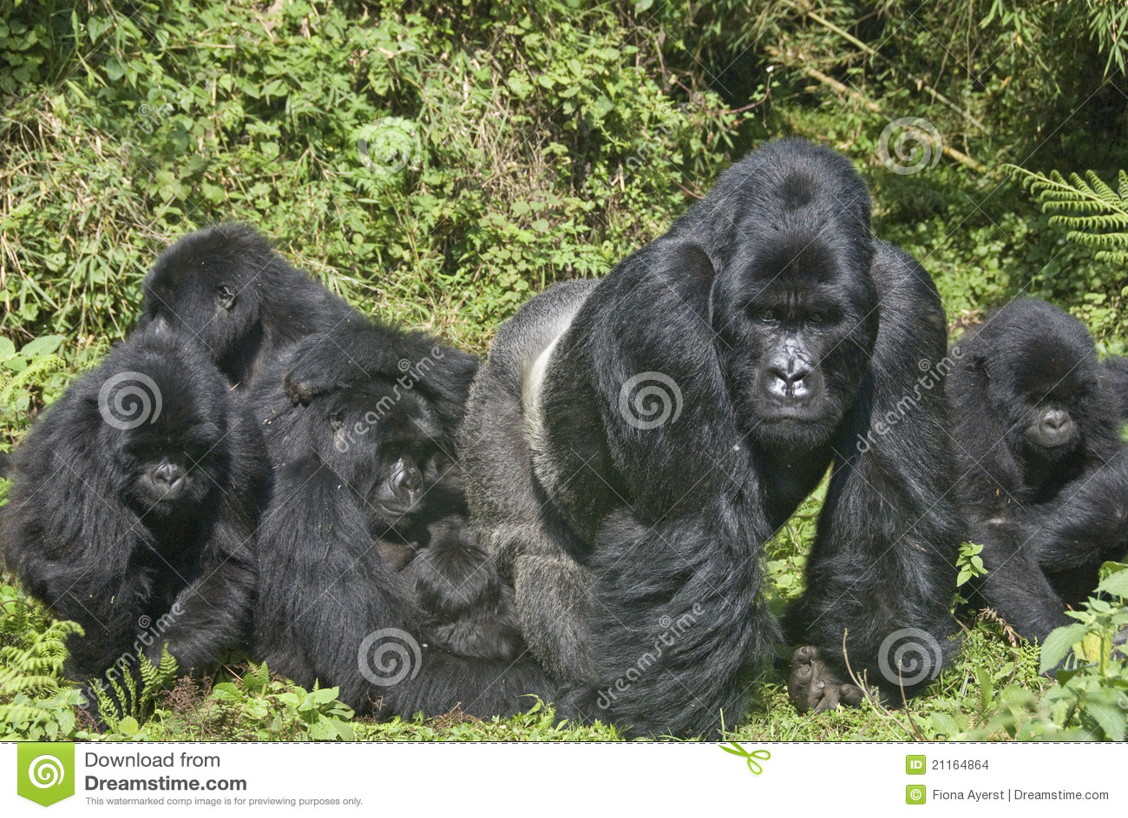 Gorilla-Familie