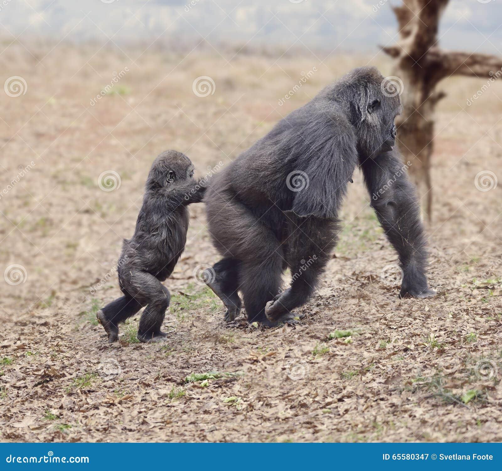 Gorilla Female com seu bebê