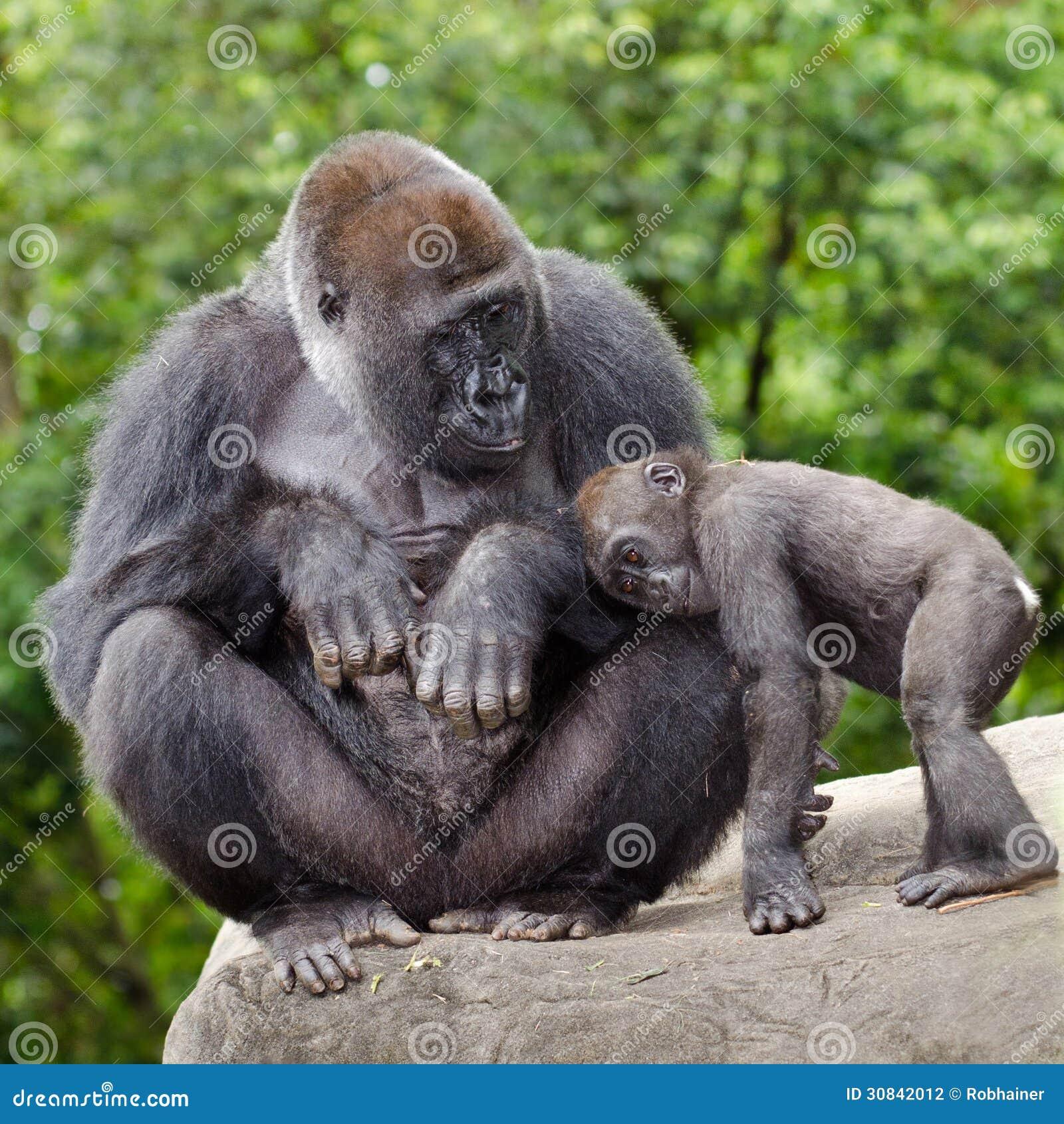 Gorilla femminile che si preoccupa per i giovani