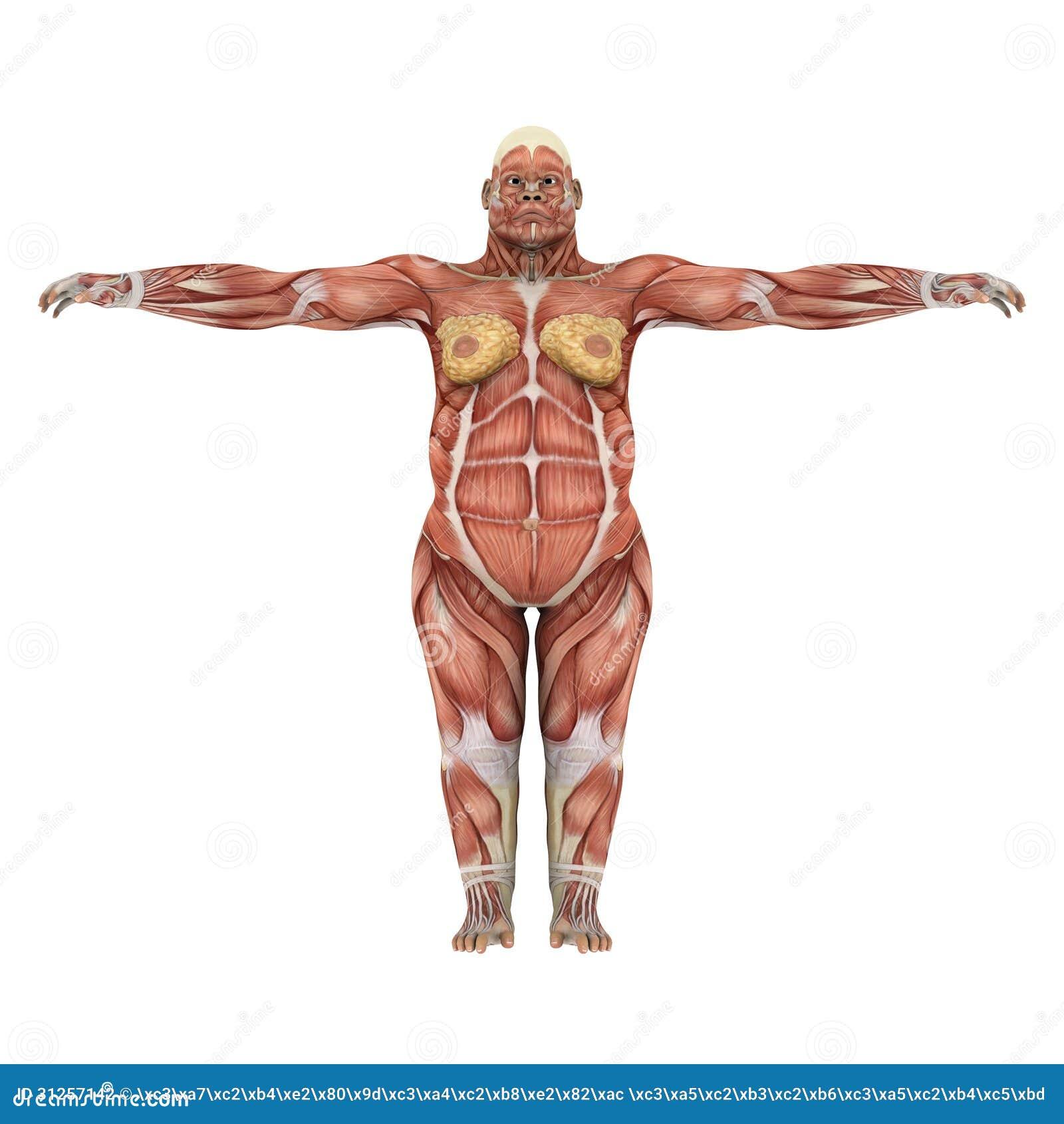 Único Músculos Anatomía Gorila Inspiración - Anatomía de Las ...
