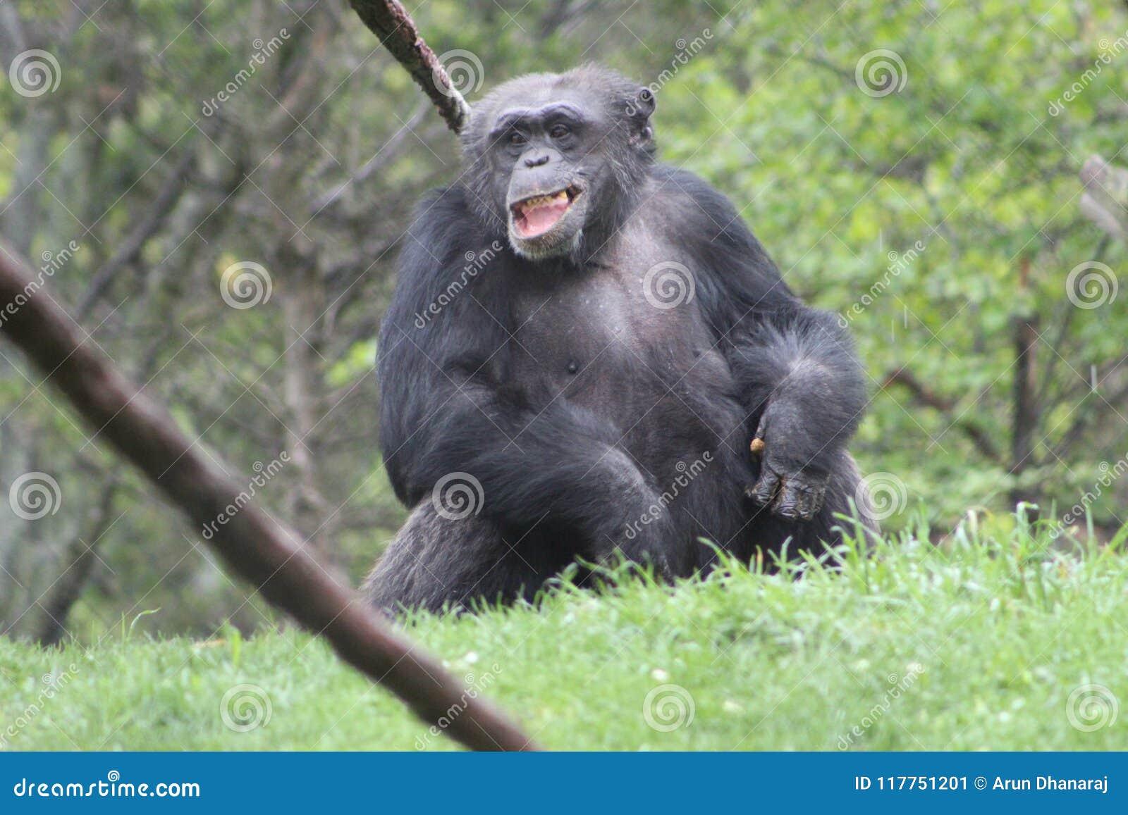 Gorilla laugh