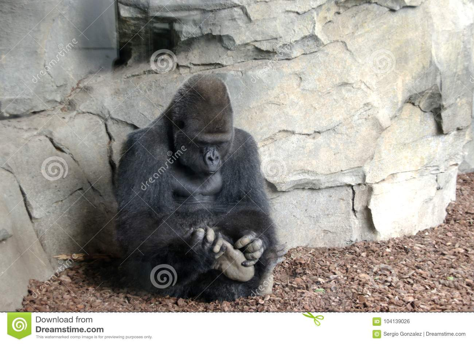 Gorilla macho