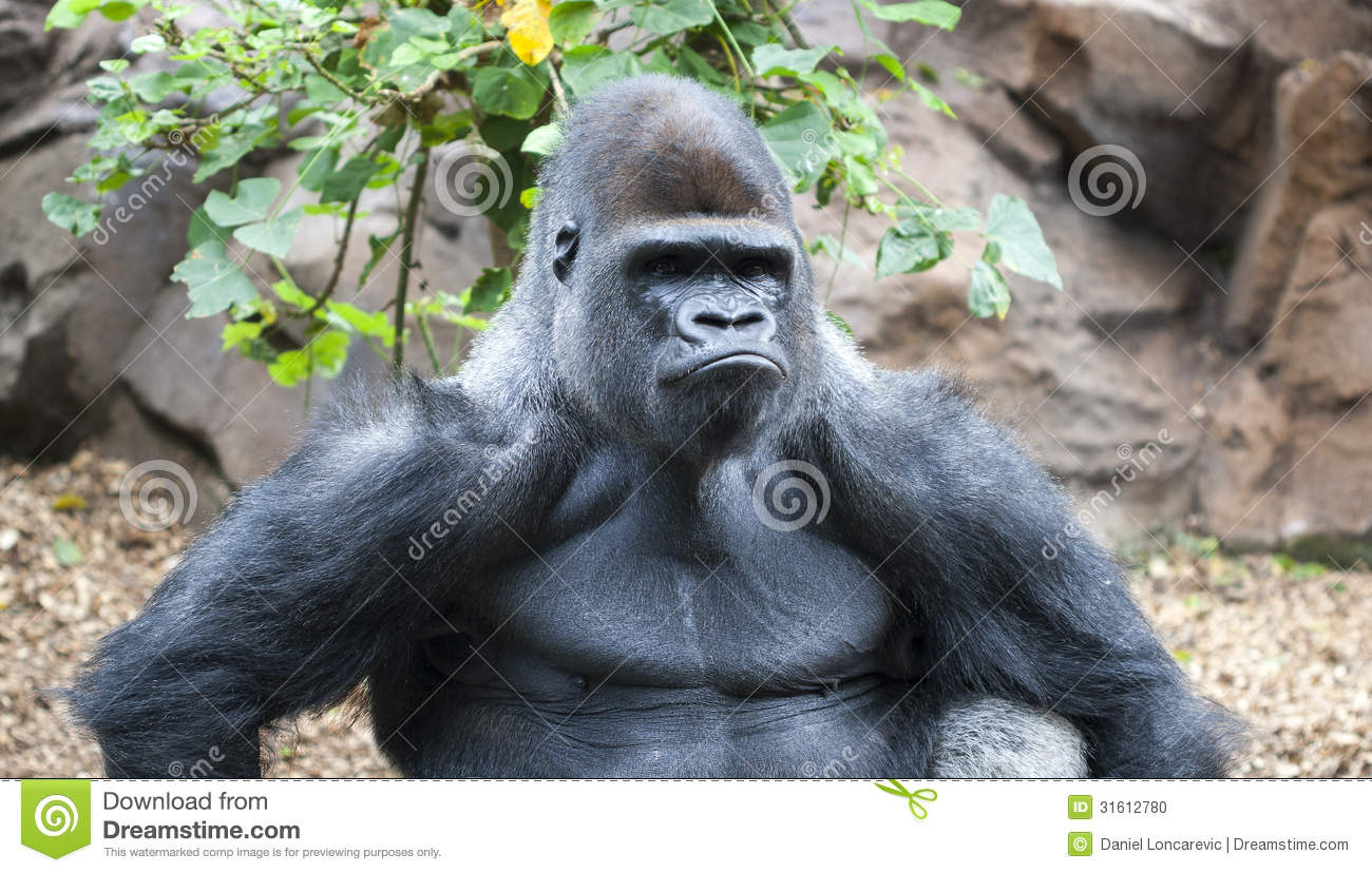 Gorilla Making A Serious Face Stock Photo Image 31612780